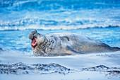 Southern elephant seal (Mirounga leonina) male roaring, Sea Lion Island, Falkland Islands, South America