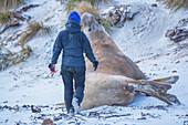Biologist tagging a Southern elephant seals (Mirounga leonina) male, Sea Lion Island, Falkland Islands, South America
