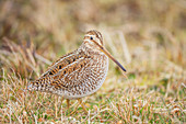 South American snipe (Gallinago paraguaiae), Sea Lion Island, Falkland Islands, South America