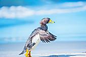 Steamer duck (Tachyeres brachypterus) walking, Sea Lion Island, Falkland Islands, South America