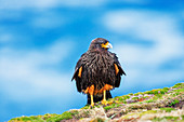 Striated Caracara (Phalcoboenus australis), Sea Lion Island, Falkland Islands, South America