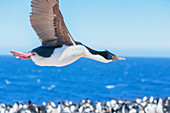 Imperial shag (Leucocarbo atriceps) in flight, Sea Lion Island, Falkland Islands, South America