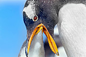An adult Gentoo Penguins (Pygocelis papua papua) feeding its chick, Falkland Islands, South America