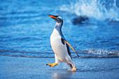 Gentoo Penguin (Pygocelis papua papua) walking on the beach, Sea Lion Island, Falkland Islands, South America