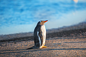 Gentoo Penguin (Pygocelis papua papua) standing, Sea Lion Island, Falkland Islands, South America