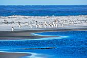 Gentoo Penguins (Pygocelis papua papua) walking on the beach, Sea Lion Island, Falkland Islands, South America