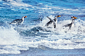 Gentoo penguins (Pygocelis papua papua) jumping out of the water, Sea Lion Island, Falkland Islands, South America