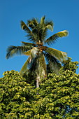 Cocoa palm surrounded by lush foliage, Luang Prabang, Luang Prabang Province, Laos, Asia