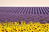 France, Alpes de Haute Provence, Verdon Regional Nature Park, Valensole, field of sunflower and lavender flowers on the Valensole plateau