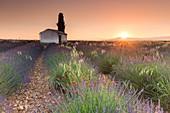 France, Alpes de Haute Provence, Verdon Regional Nature Park, Valensole, cypress and cabanon in the middle of a lavender field (Lavandin) on the Plateau de Valensole