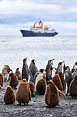 France, French Southern and Antarctic Territories (TAAF), Crozet Islands, Ile de la Possession (Possession Island), King Penguin (Aptenodytes Patagonicus) at the Penguin Rookery at the Baie du Marin with the Marion Dufresne (supply ship of French Southern and Antarctic Territories), at anchor in the Baie