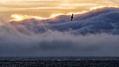 France, French Southern and Antarctic Lands listed as World Heritage by UNESCO, Crozet Islands, Ile de l'Est (East Island) at sunrise seen from the Ile de la Possession (Possession Island), Wandering Albatross (Diomedea Exulans)