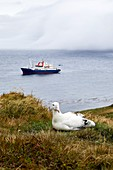 France, French Southern and Antarctic Territories (TAAF), Crozet Islands, Ile de la Possession (Possession Island), Wandering Albatross (Diomedea Exulans) on its nest with the Marion Dufresne (supply ship of French Southern and Antarctic Territories), at anchor in the Baie du Marin