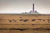 Resting migratory birds at the Westerheversand lighthouse, North Friesland, Schleswig-Holstein