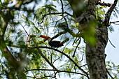 Toucan bird in tree near Iguazu Falls, Iguazu National Park, Misiones, Argentina, South America