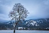 Wintry tree at Neuschanstein Castle, Schwangau, Allgäu, Bavaria, Germany