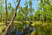 A small creek amidst lush vegetation, eucalyptus trees, Pine Creek, Northern Territory, Australia