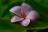 A blossom in the tropics, Darwin, Northern Territory, Australia