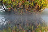 A palm tree stands in the river in the morning mist, Cooinda, Kakadu National Park, Northern Territory, Australia