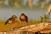 Two birds on a log, Cooinda, Kakadu National Park, Northern Territory, Australia