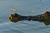A crocodile swims in the river, Cooinda, Kakadu National Park, Northern Territory, Australia