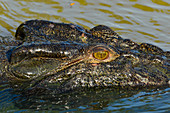 Close up of the head of a crocodile in the river, Cooinda, Kakadu National Park, Northern Territory, Australia
