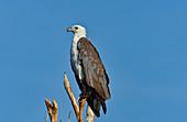 Nahaufnahme eines Adlers auf einem Baum, Cooinda, Kakadu National Park, Northern Territory, Australien