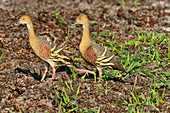Two birds run on the riverside, Cooinda, Kakadu National Park, Northern Territory, Australia