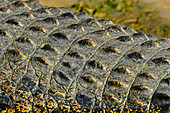 Detail view from the back of a crocodile, Cooinda, Kakadu National Park, Northern Territory, Australia