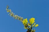 Blüte und Blätter des Kakadu Plum-Baumes vor blauem Himmel, Cooinda, Kakadu National Park, Northern Territory, Australien