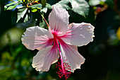 Colorful tropical blooms in close-up, Kununurra, Western Australia, Australia