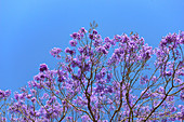 Blooming jacaranda tree against a blue sky, Sydney, New South Wales, Australia