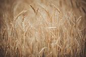 Rye field near Kaluga, Russia