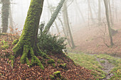 Fog in the forest of Cerisy, Foret de Cerisy, Calvados, Manche, Normandy, France