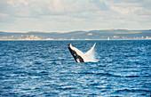 Humpback whale (Megaptera novaeangliae) breaching, Queensland, Australia