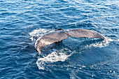 Tail fluke of humpback whale (Megaptera novaeangliae),  Hervey Bay, Queensland, Australia