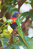 Rainbow Lorikeet (Trichoglossus haematodus) sitting on a twig, Lone Pine Koala Sanctuary, Brisbane, Queensland, Australia
