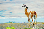 Guanaco (Lama guanicoe) Torres del Paine National Park, Patagonia, Chile, South America