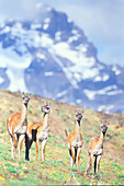 A group of guanacos (Lama guanicoe) walking,Torres del Paine National Park, Chile, South America
