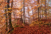 Autumn morning in the beech forest, Bavaria, Germany, Europe