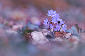 Hepatica in the spring forest, Bavaria, Germany, Europe