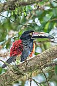 Collared Aracari (Pteroglossus torquatus) perched on tree, Costa Rica, Central America