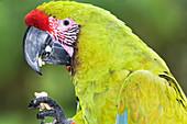 Military macaw (Ara militaris) eating, Costa Rica, Central America