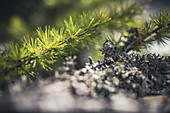 Close up of a larch branch, nature, Switzerland,