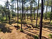 France, Gironde, Val de L'Eyre, Parc Naturel Régional des Landes de Gascogne, horseback ride with Caballo Loco, a Chilean family specializing in equestrian art(aerial view)
