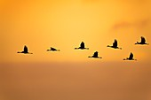 France, Landes, Arjuzanx, created on the site of a former lignite quarry, the National Nature Reserve of Arjuzanx welcomes tens of thousands of cranes (Grus grus) each year, the time of a wintering