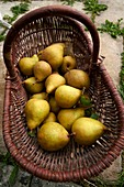 France, Haute Garonne, fruit tree, pear tree, Doyenne du Comice