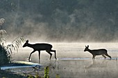 France, Doubs, Brognard, Allan's, natural area, mammal, roe deers and his young crossing a body of water in the mist