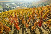 France, Rhone, Ampuis, vineyard AOC Cote Rotie
