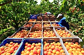 France, Ardeche, Baix, harvesting apricots